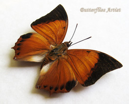 Charaxes Harmodius Martinus Real Butterfly From Malaysia In Shadowbox - $29.99