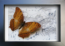 Vintage Map With Golden Cruiser Real Butterfly From Indonesia in Shadowbox - $32.99