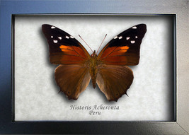 Tailed Cecropian Historis Acheronta Real Butterfly From Peru In Shadowbox - $32.99