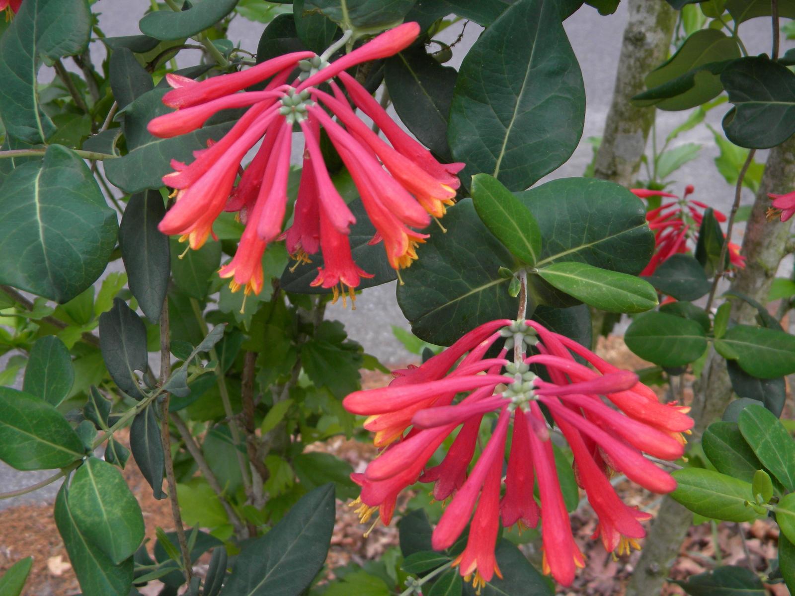 Organic Natve Plant, Trumpet,(Coral) Honeysuckle, Lonicera s