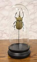 Ebros Exotic Entomology Beetle Faux Taxidermy Sculpture in Victorian Glass Dome  - $44.99