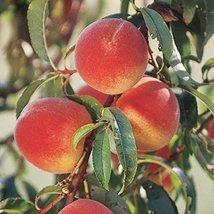 1 Bareroot of Elberta Peach - $176.22