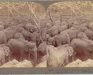 Primary image for Ceylon Wild Elephant Herd Vintage Underwood Stereoview Card