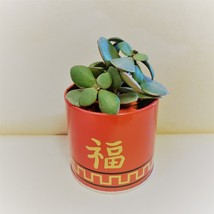 """Jade Plant in Red Gold Tin, 3"""" Planter Succulent Crassula ovata Chinese New Year - $14.99"""