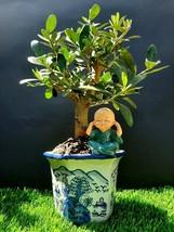 Bonsai Olive tree Plant + Asian porcelain flower pot - $180.07