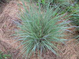 Organic Native Plant, Little Bluestem - $3.50