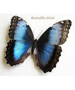 Wedding Gift Morpho Helenor Female GIANT Real Butterfly In Shadowbox  - €78,45 EUR