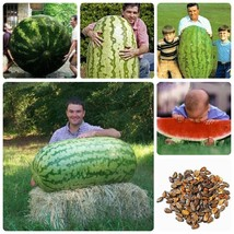 Fruit seeds 50 pcs Giant Watermelon Seeds (up to 40kg) - HUGE melon - $4.21