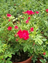 Red Drift Rose 3 Gal. Live Bush Plants Shrubs Plant Groundcover Roses Garden Now - $53.30