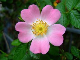 25 Rosa canina Seeds, Dog Rose Seeds Pink - $8.00