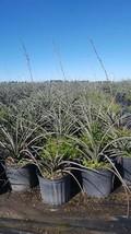 Red Yucca 3 gal  Hedge Shrub Evergreen Plant Landscape Shrubs Tree - $53.30
