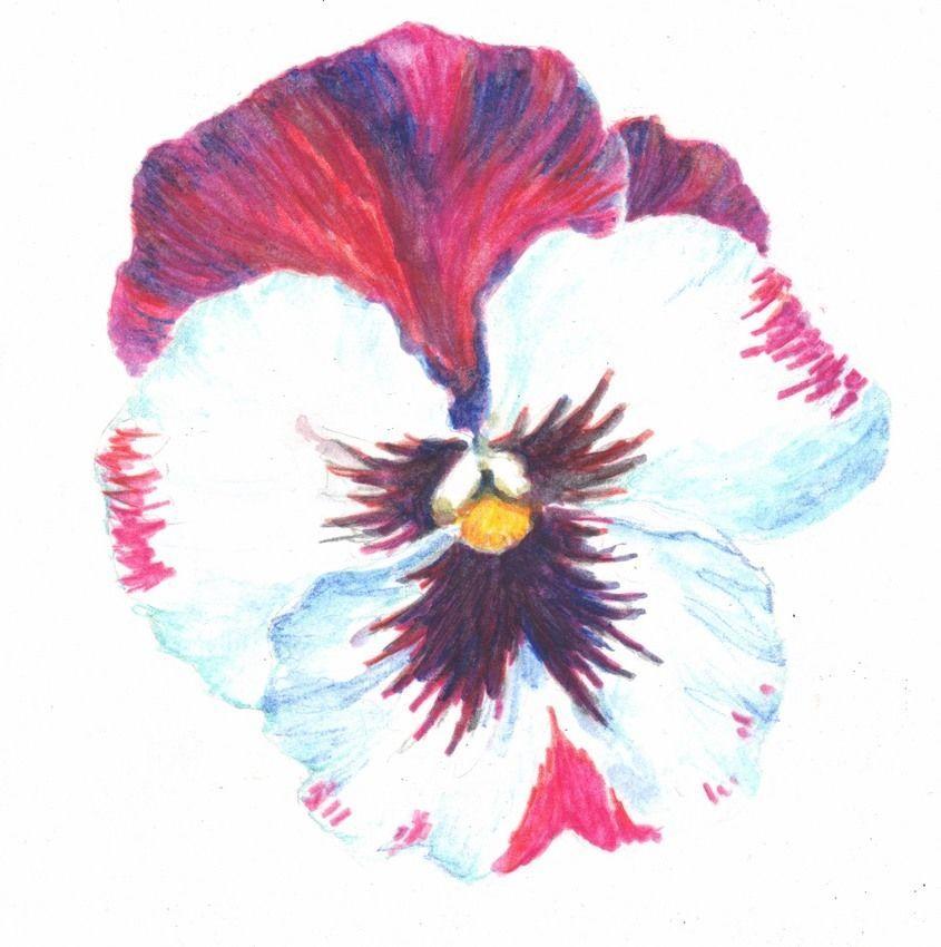 Akimova: PANSY, watercolor, garden, still life, spring