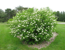 25 + Southern Arrowwood seeds (Viburnum Dentatum) Ornamental Shrub CombSH I86 - $13.58