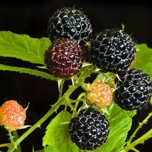 Black Raspberry Bush Seeds (Rubus occidentalis) 25+Seeds - $5.29+