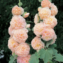 Ship From Us 30 Seeds Salmon Double Hollyhock Flower,Diy Sb Flower Seeds - $27.99