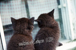 #577 Kittens Looking Window Window Shopping Photography Photo Greeting Card - $4.99