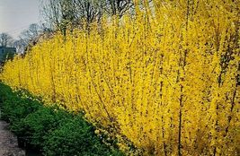 "Forsythia Lynwood Gold-""Golden Bells"" (Forsythia xintermedia 'lynwood') 4"" pot image 3"