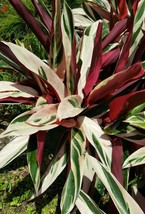 Tricolor Prayer Plant~Stromanthe triostar Live Plant~Gallon size~  - $41.36