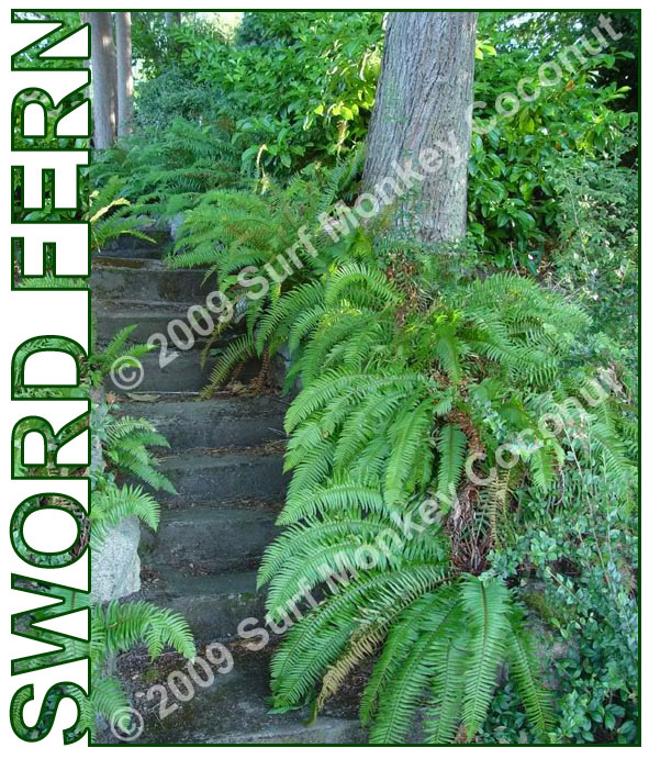 Western Sword Fern spores w/ FREE how to grow booklet! Terrarium plant 10k spore
