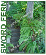 Western Sword Fern spores w/ FREE how to grow booklet! Terrarium plant 1... - $2.97