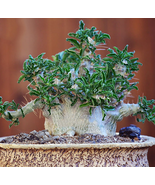 Only ONE Seed , Very Unique and Rare Pachypodium saundersii Bonsai Seed - $17.20