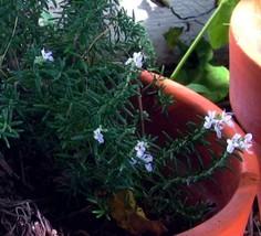 Rosemary plant in bloom closeup  3025 72dpi thumb200