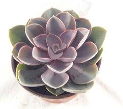 """Succulents Assorted Succulent Collection 6"""" pot  - $22.48"""
