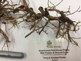 WILD GERANIUM 5 roots maculatum image 4