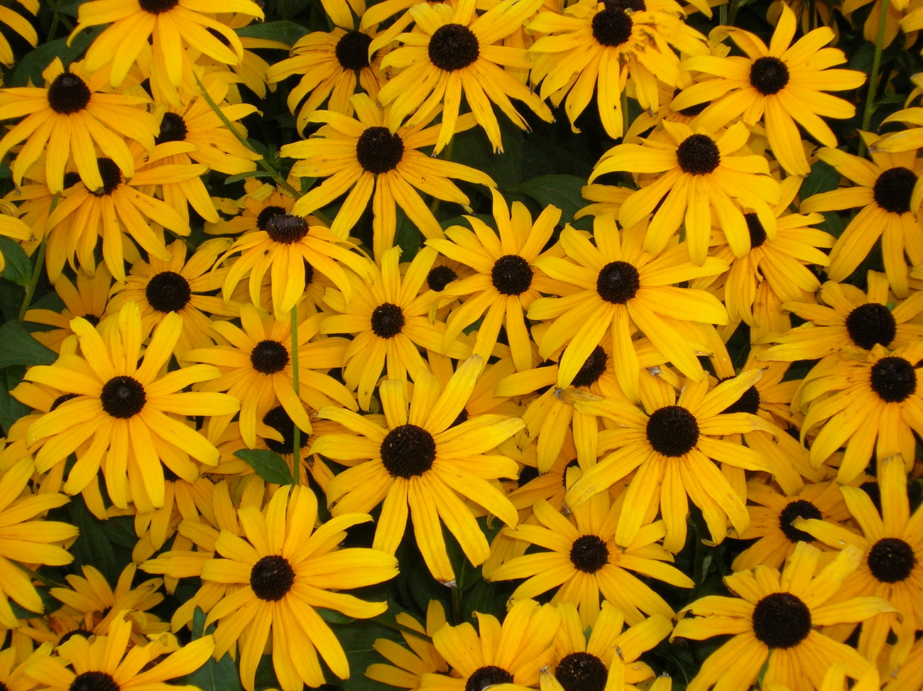 Primary image for Organic Native Plant, Black Eyed Susan, Rudbeckia fulgida, w