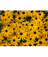 Organic Native Plant, Black Eyed Susan, Rudbeckia fulgida, w - $3.50