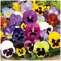 SHIP FROM US 25 Seeds Mixed Swiss Giants Pansy,DIY Decorative Plant AM - $27.99