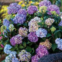 Endless Summer Hydrangea - Plant Bloom All Summer - $68.89