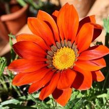 Gazania Garden Leader Bronze Flower Seeds (Gazania Rigens) 10+Seeds - $4.99+