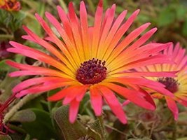 2000 Livingston Daisy Ice Plant Wildflower Flower Seeds - $7.99