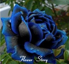 100 Midnight Supreme Rose Seeds , Rare color, Real seeds, Ideal DIY Home Garden - $7.00