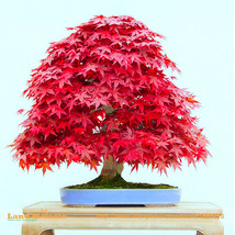 Red Japanese Maple Bonsai, 10 Seeds/Pack, 100% Real Fresh Acer Palmatum ... - $8.44