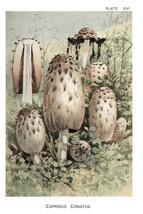 W. Hamilton Gibson: Coprinus Comatus - Harper Publishers - 1895 - $12.82+