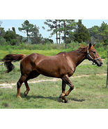 "30 Year Old Horse  photo #8  8X10"" glossy print - $7.00"