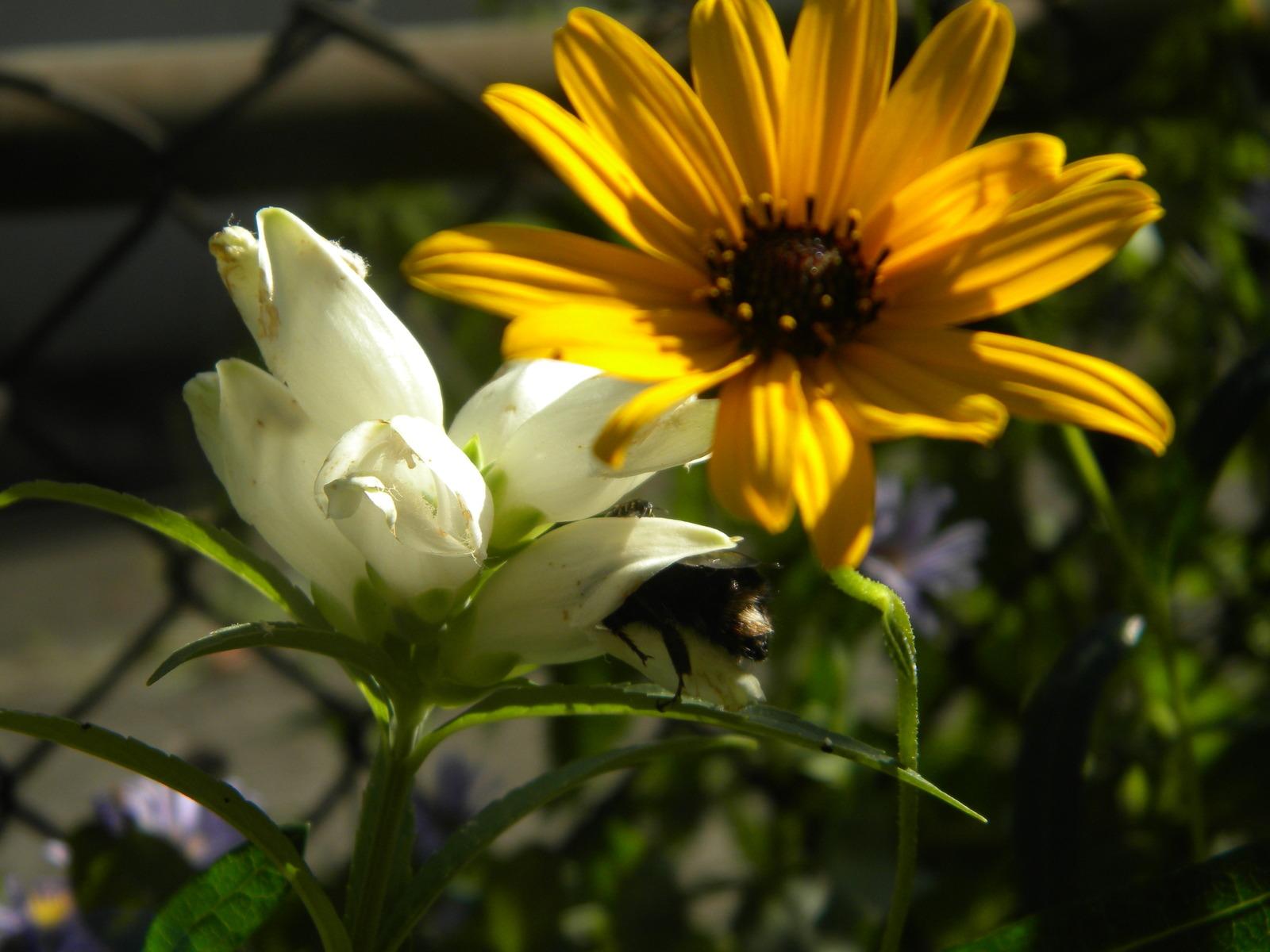 Organic Native Plant, Narrow Leaf Sunflower, Helianthus angustifolius