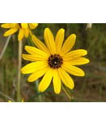 Organic Native Plant, Narrow Leaf Sunflower, Helianthus angustifolius - $3.50