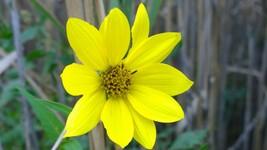 Organic Native Plant, Giant Sunflower, Helianthus giganteus L. Pollinator Plant - $3.50