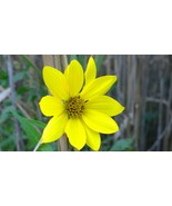 Organic Native Plant, Giant Sunflower, Helianthus giganteus L. Pollinato... - $3.50