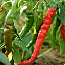 100+LONG THIN CAYENNE PEPPER Seed Organic Open Pollinated Garden/Patio C... - $2.50