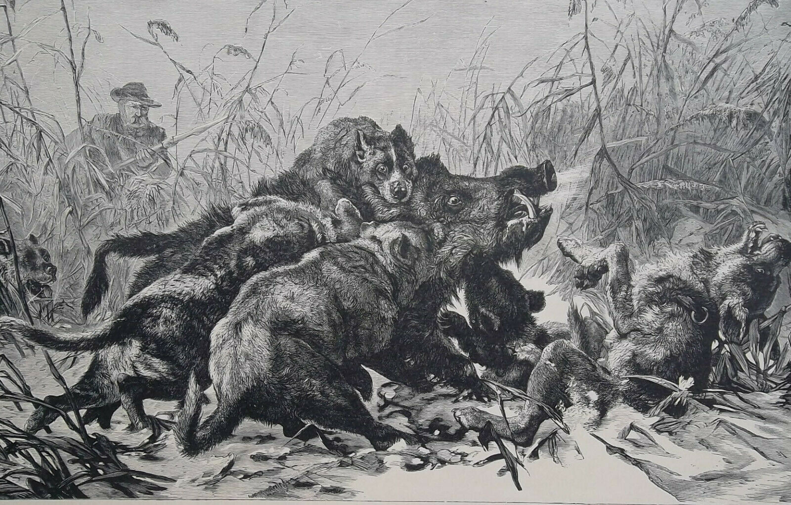 Primary image for WILD BOAR Hunt Overpowered by Dogs - 1880 SCARCE Antique Print