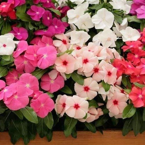 1 Packet of 20 Seeds Impatiens Peppermint Mix Flower/Balsaminaceae / Impatiens W