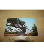 WIND SHAPED TREE CALIFORNIA COAST VINTAGE POSTCARD UNUSED - $3.00