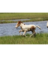 Chincoteague Pony Photo - 2019 Chestnut Pinto Foal romping - Various Sizes - $7.50+