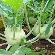 2000 Seeds - Early White Vienna Kohlrabi - 55 Days - $11.78