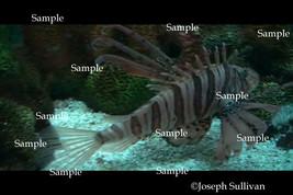Lion Fish Freebie Computer Wallpaper Digital Download - $0.00
