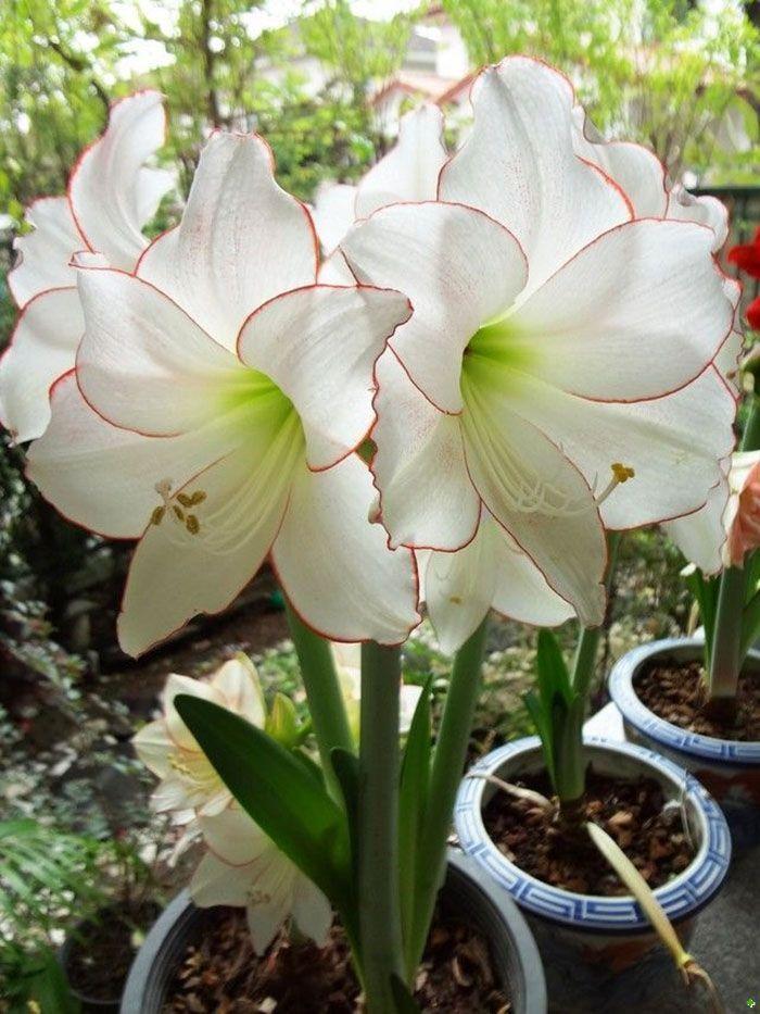 2Bulbs/bag,Hippeastrum seeds Amaryllis bulbs flower seeds, large showy flowers